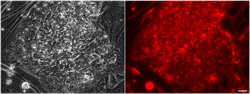 Stem cell labeling and tracking by MRI and magnetic targeting.
